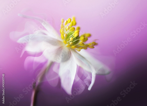 Zdjęcia na płótnie, fototapety na wymiar, obrazy na ścianę : Big beautiful white spring anemone flower close-up of a macro on a purple background with fluttering petals in the wind with a soft focus. Elegant gentle airy dreamy artistic image.