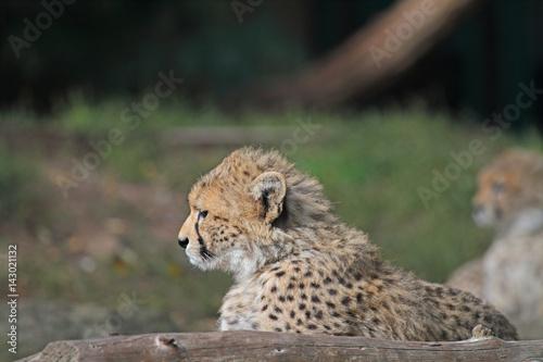 Poster Gepard