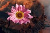 różowa gerbera na korze