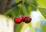 Ripe red organic sweet cherry in the garden