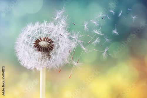 Dandelion clock in the morning sun