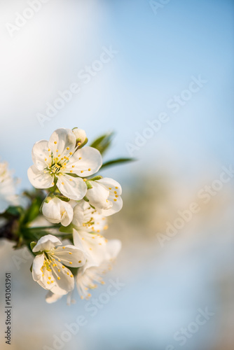 Blooming garden. Close-up flowers on tree against blue sky. Spring concept.
