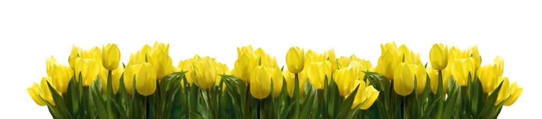 Gelbe Tulpen auf Weiß