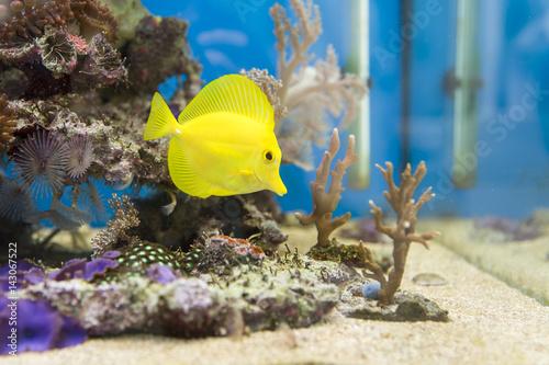 View at beautiful zebrasoma salt water aquarium fish Poster