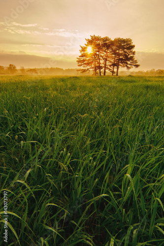 Fotobehang Lente Sunrise with meadow pine trees and high grass with dew.