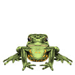 the frog sits symmetrical sketch vector graphics color picture