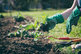 woman with green gloves planted in a bed of small marigold, gardening in a springtime  - 143083917