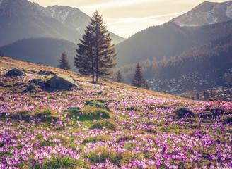 Tatra mountains, Poland, crocuses in Chocholowska valley, spring