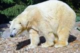 Polar bear on pebbles