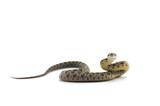 snake isolated on white background - 143093963