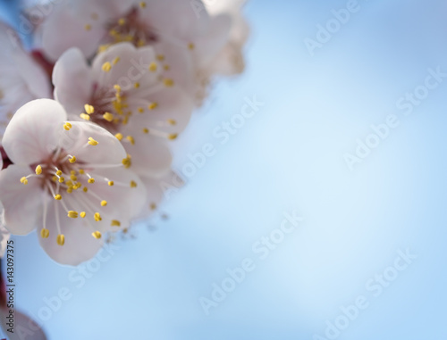 Poster Branches of a flowering apricot