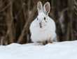 White Snowshoe Hare Portrait in Early Spring