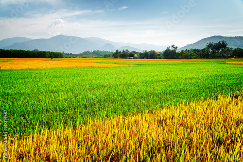 Various phases of rice cultivation. Amazing colorful rice fields