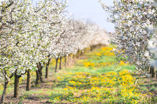 Blossoming apple orchard in spring time