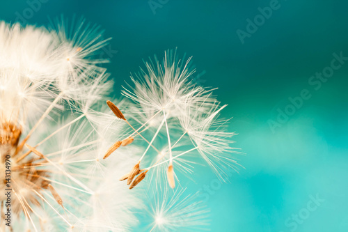 white dandelion flower with seeds in springtime in blue turquoise abstract backgrouds - 143134970