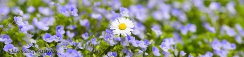 Kolorowa kwiat łąka na wiosnę z niezapominajkami i stokrotkami