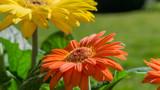 Yellow and orange gerbera flower in the garden at sunshine