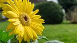 Yellow gerbera flower in the garden at sunshine