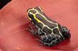 Poison dart frog, Ranitomeya imitator baja huallaga. A small poisonous animal from the tropical Amazon rain forest of Peru. .