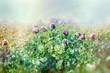 Purple poppy flower in meadow - poppy flowers lit by sunlight