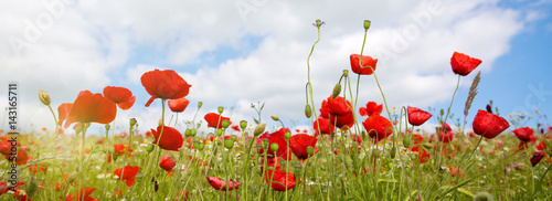 Foto op Canvas Klaprozen Poppies field in rays sun.