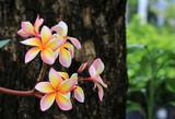 Yellow Pink Frangipani Flower Close up