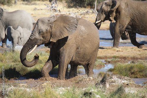 Poster Group of elephants playing with mud and water in a waterhole