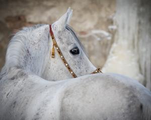 Grey arabian horse look back on light background isolated