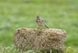 Crested lark (Galerida cristata) sits on the stone, Kalmykia, Russia