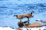 A pair of Canada geese standing on rocks