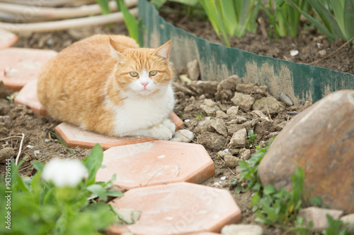 Pregnant ginger cat in garden Poster