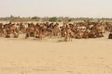 Herd of African camels ( dromedaries) in Sudan