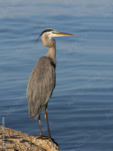 Poster Great Blue Heron ( Ardea Herodias) standing on a jetty on the Gulf of Mexico at St