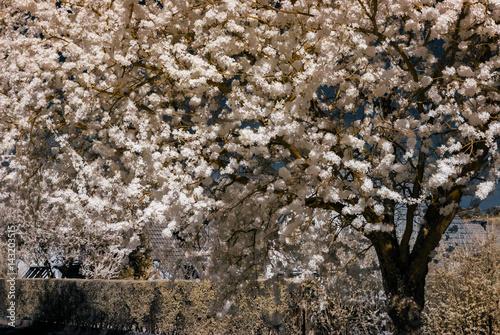 Poster Sakura flowering in infra red view