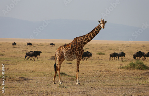 Wild Giraffe Poster
