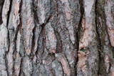 Texture of tree bark brown bumps and cracks in sunlight close-up