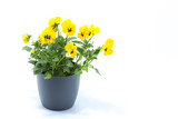 Fototapety Horned Violet, Yellow Viola, Cornuta planted in a grey pot and isolated in white studio background