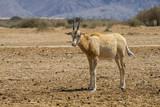 Baby of Sahara scimitar Oryx (Oryx leucoryx) in nature reserve near Eilat, Israel.