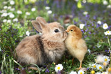 Fototapety Best friends bunny rabbit and chick are kissing