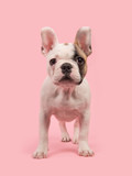 Cute standing french bulldog puppy seen from the front facing the camera on a pink background