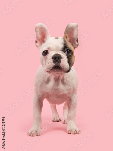 Deurstickers Franse bulldog Cute standing french bulldog puppy seen from the front facing the camera on a pink background