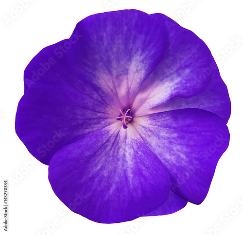violet  flower geranium.  white isolated background with clipping path. Closeup no shadows. Nature. - 143270334