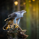 A male Goshawk (Accipiter gentilis) sitting on the stump in forest.
