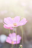 cosmos flowers vintage tone background wallpaper