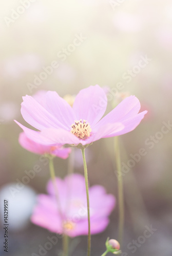 Fotobehang Purper cosmos flowers vintage tone background wallpaper
