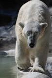 Beautiful White Polar Bear Walking Along at a Slow Lumber