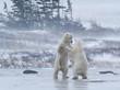 Sparring Polar Bears, Churchill, Manitoba, Canada