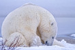Polar Bear Sleeping in Snow, Churchill, Manitoba, Canada