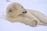 Polar Bear lyning down in snow, Churchill, Manitoba, Canada