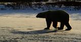 Walking Polar bear in silhouette at sunset, Chrurchill, Manitoba, Canada